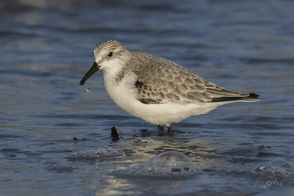 Becasseau-sanderling-2895.jpg