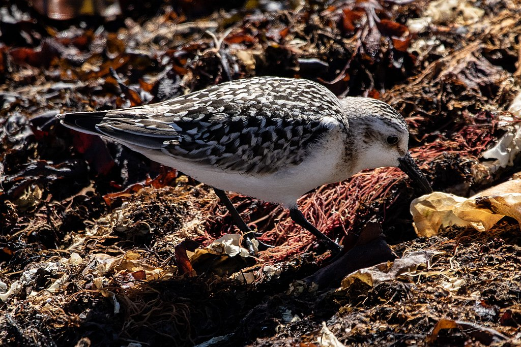 Becasseau-sanderling-5078.jpg